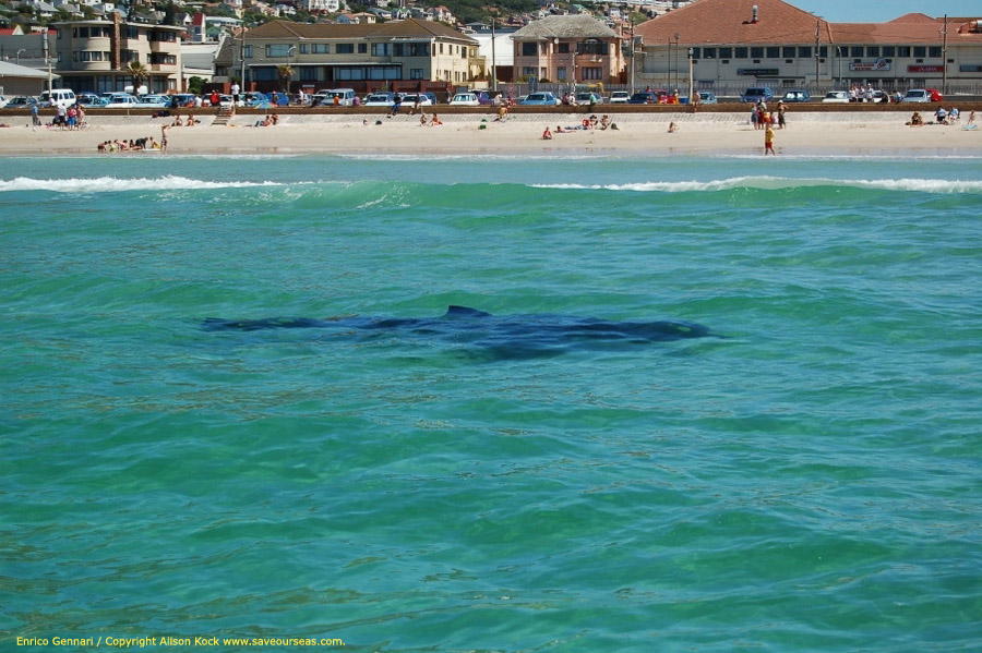 a0aee1fd9560 About this image  This photograph was taken on 28 September 2006 by the  Save Our Seas White Shark Research Team while visually tracking a large  white shark ...